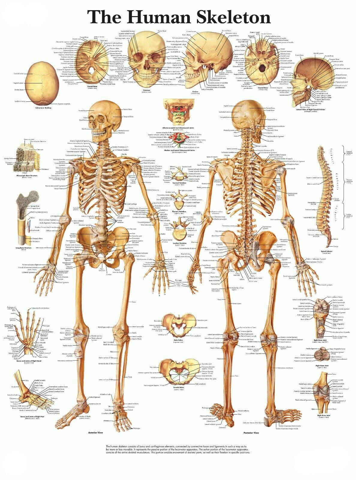 Primary image for The Human Skeleton Poster Print Choose your size Unframed.