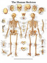 The Human Skeleton Poster Print Choose your size Unframed. - $6.47+