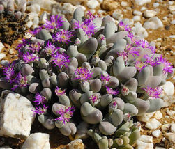 Gibbaeum pubescens @@ rare mesembs cactus seed 20 SEEDS - $18.00