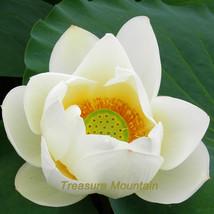 1 seeds / pack, Nobility Queen White Lotus Nelumbo Nucifera DIY #NF209 - $6.43