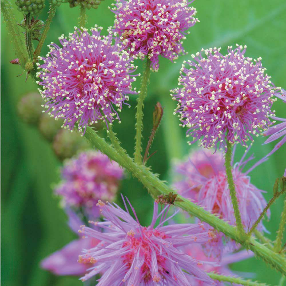 Primary image for Prairie Sensitive Plant ~Mimosa nuttallii~ Sensitive Briar ~ Native Hardy Perenn