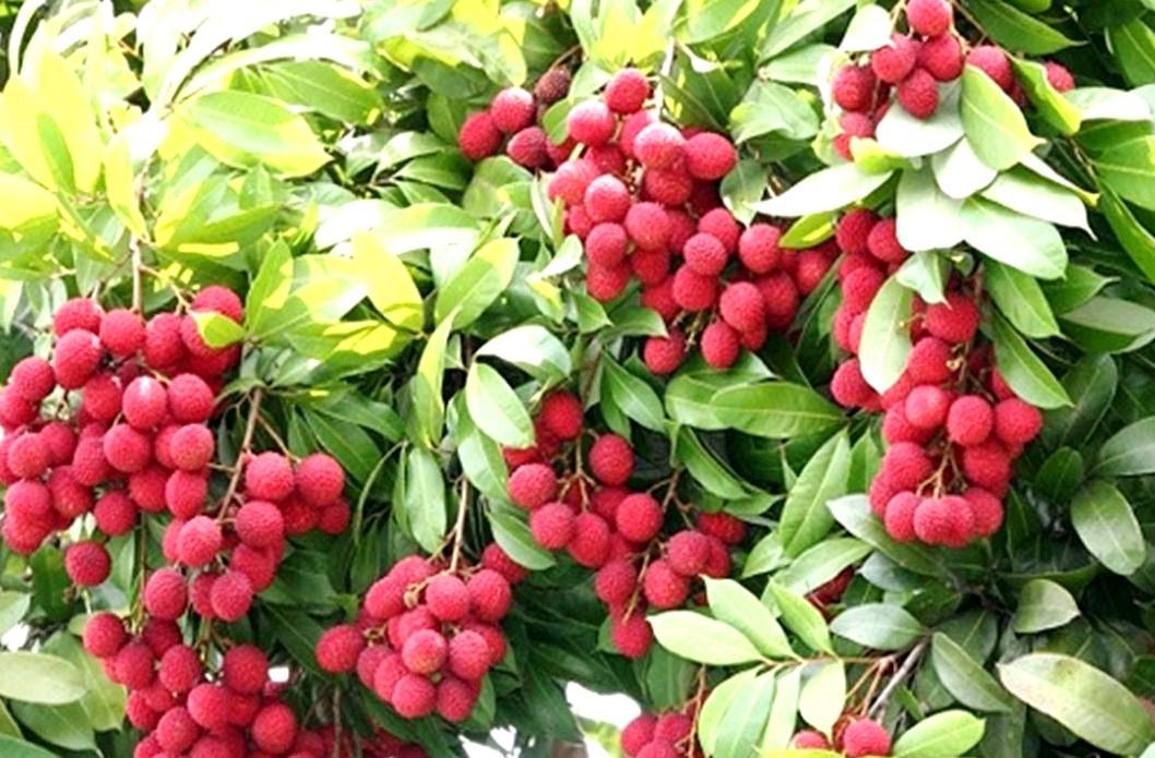 05 Pcs Nephelium Litchi Lychee Litchi Fruit Seeds