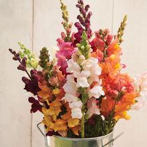 Costa Mix Snapdrago Seeds Edible Flower Seeds - $8.99