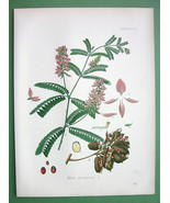 INDIAN LIQUORICE Abrus Pecatorius Flower - SUPERB Botanical Print Color ... - $22.88