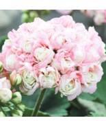 20pc Beautiful Rare Geranium Bonsai Apple Blossom Rosebud Pelargonium Ho... - $15.97