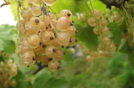 5 Plant, White Imperial Currant, Rooted in Soil - £73.52 GBP