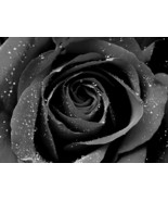 100 Rare Black Rose Flower Seeds High Quality Easy to Plant La Rosa Negra - $4.98