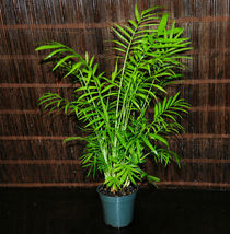 Chamaedorea elegans Neanthe Bella Palm Tree Parlor Palm Tropicals Super ... - $37.99