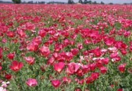 SHIPPED From US, CARMINE KING CALIFORNIA POPPY 100 FRESH FLOWER SEEDS-SPM - $16.99