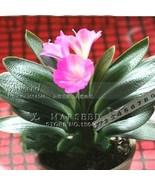 Pink Princess Clivia Flower Seeds (Kaffir Lily), Ideal Home Garden or Pot Flower - $8.85