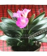 Pink Princess Clivia Flower Seeds (Kaffir Lily), Ideal Home Garden or Pot Flower - $8.85
