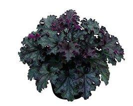 1 Starter Plant Of Black Knight Heuchera - Gallon - $80.98