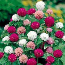 Gomphrena Seeds Mix Color Flower Seeds # 40 pcs - $4.99