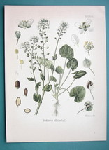 SCURVY GARSS Medicinal Cochlearia Officinalis - Beautiful COLOR Botanica... - $16.83