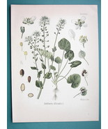 SCURVY GARSS Medicinal Cochlearia Officinalis - Beautiful COLOR Botanica... - $16.83