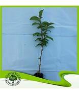 Prunus avium var sylvestris (Ciliegio selvatico) - Pianta - $19.21