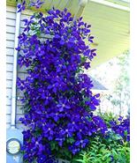 100pcs Very Elegant Blue Clematis Seeds Flower IMA1 - $14.99