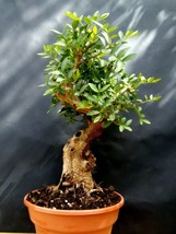 Pistacia lentiscus - Approximately 30 years old plant - $335.04