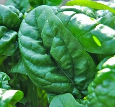 4 Variety Seeds - Viroflay Spinach Seeds #IMA41 - $12.99+