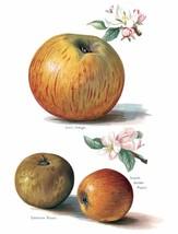 Vintage Fruit Prints: Coxs Orange - Fruit Growers Guide - 1880 - $12.95+