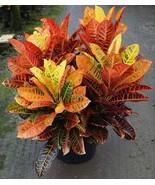 Croton AFD-7 aka Codiaeum variegatum AFD-7 Foliage Live Plant Fit 5 GAL Pot - $35.63
