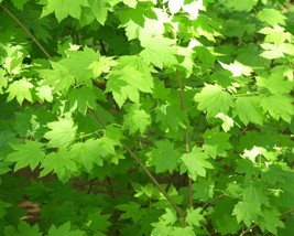 Acer Circinatum (Oregon Vine Maple) 10 seeds - $2.09
