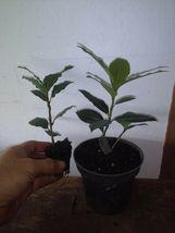 Live Plant Laurus nobilis - 'Bay Leaf Tree' - Bay Laurel - Outdoor Living - $50.99