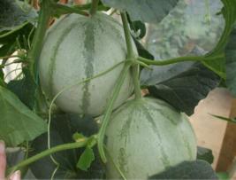 BEST PRICE 20 Seeds Canadian Heirloom Oka Melon,DIY Watermelon Seeds E33... - $4.79