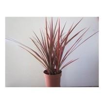 Plant Dracaena Marginata Colorama Tri-color Dragon Tree Houseplant Indoo... - €18,01 EUR