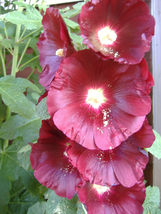 25 seeds - Burgundy Red Hollyhock Alcea Rosea #SFB15 - $17.99