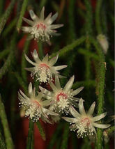 Rhipsalis pilocarpa rare epiphyllum hanging mause tail cacti aloe seed 100 SEEDS - $40.00