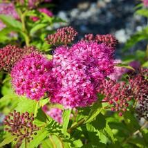 APPROX 12 INCH - SPIRAEA 'NEON FLASH''- PLANT - Gardening - FREE SHIP - $33.99