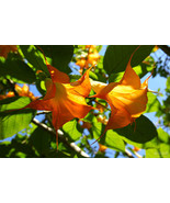 50 Pcs Yellow Datura Flower Seed, Bonsai Brugmansia Angel Trumpets Tree Seed (3) - $9.99