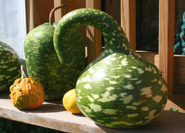 8  Rob's Giant Gourd Seeds-1174 - $3.98