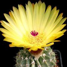 Notocactus buiningii exotic flowering yellow parodia rare cactus cacti 50 SEEDS - $20.00