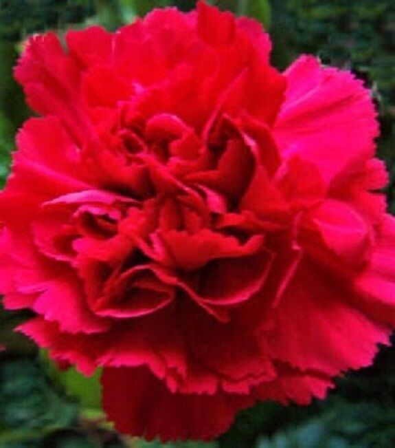 60+ Scarlet Red Carnation / Perennial Flower Seeds – Outdoor Living - SBS - $33.95