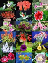 RARE SINNINGIA MIX, rare african violets fragrant garden flowers seed 20 seeds - $18.00