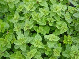 400 seeds Greek Oregano, Winter marjoram, Herb, NON-GMO seeds - $3.10