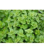 400 seeds Greek Oregano, Winter marjoram, Herb, NON-GMO seeds - $3.10