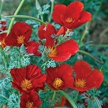 50 Seeds Eschscholzia California Poppy Red Chief Annual - $19.60
