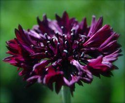 Heirloom 200 Seeds Centaurea Cornflower mixed flower plant seeds bulk - $12.45