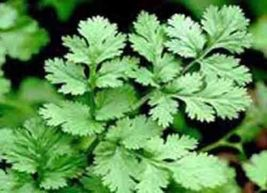 CORIANDER SLOW BOLT 30 SEEDS Leaf Salads Herb Non-GMO Containers Heat To... - $5.00