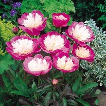 Bowl of Beauty Peony Peonies 3-5 Eyes Heavy Established Rooted 1 Gallon Trade  - $26.00