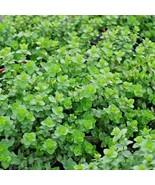 SHIPPED FROM US 1,000+ITALIAN OREGANO Organic Italian Herb Seeds, CB08 - $17.00