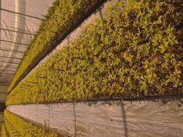 Weeping Cherry Tree  Prunus x yeodensis shidare yoshino image 5