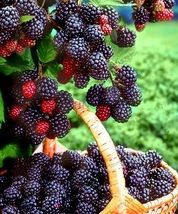 200 seeds Potted seasonal fruit garden natural health Mulberry - $2.95
