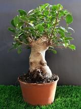Giant Bonsai tree - Ficus Microcarpa - very old plant  - $340.80