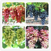 50 Seeds/Pack Gold Finger Grape Seed Organic Delicious Fresh Fruit Seeds - $5.12