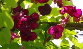 10 Akebia quinata Seeds- Chocolate Vine, Raisin Vine, Five-Leafed - $8.99