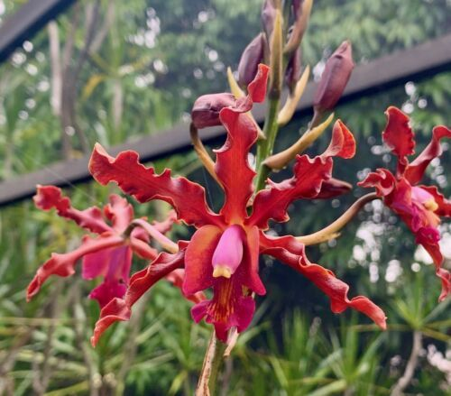 Primary image for Myrmecolaelia Quest Fanguito Orchid Plant Blooming 0304M